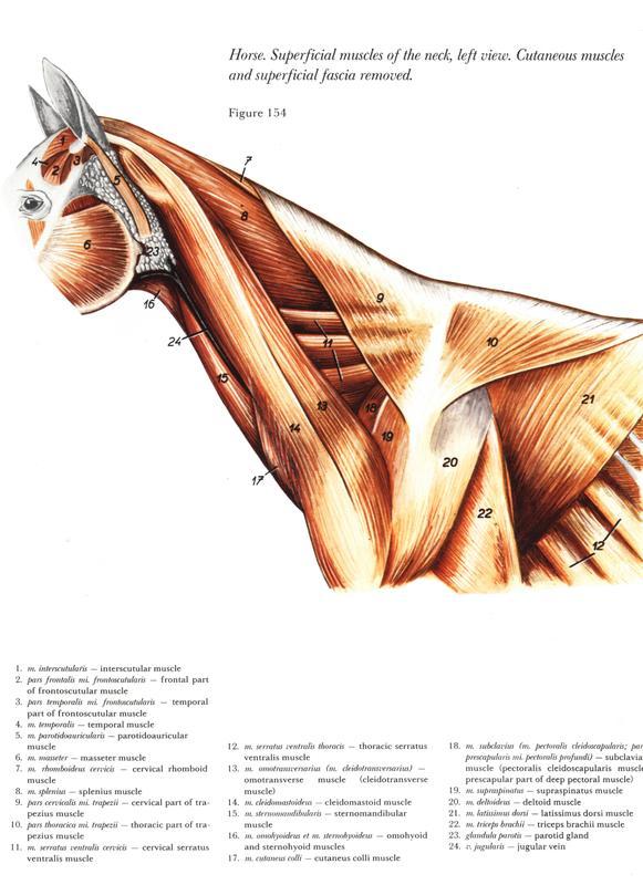 anatomia-cabeca-pescoco-neck-head-horse-cavalo-equino-musculo-muscle