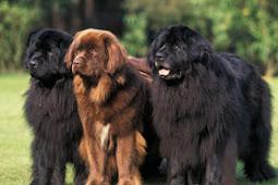 Baru Ditemukan - Aristokrat Di Antara Anjing