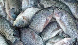 ternyata ikan mujair mempunyai kandungan gizi ikan  Kabar Terbaru- MANFAAT DAN KANDUNGAN GIZI IKAN MUJAIR
