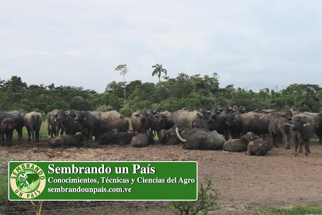 manada de búfalos