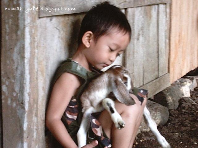bermain bersama anak kambing