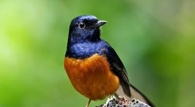 Tips Dan Cara Mengatasi Burung Murai Batu Ngembung Yang Sudah Terbukti