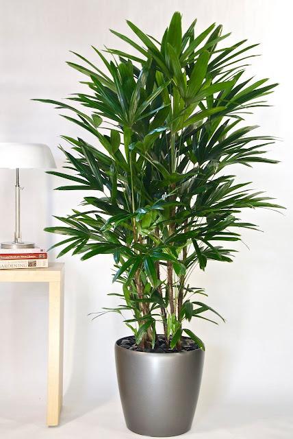 11 Pokok Hiasan Dalam Rumah Yang Berfungsi Sebagai Pembersih Udara