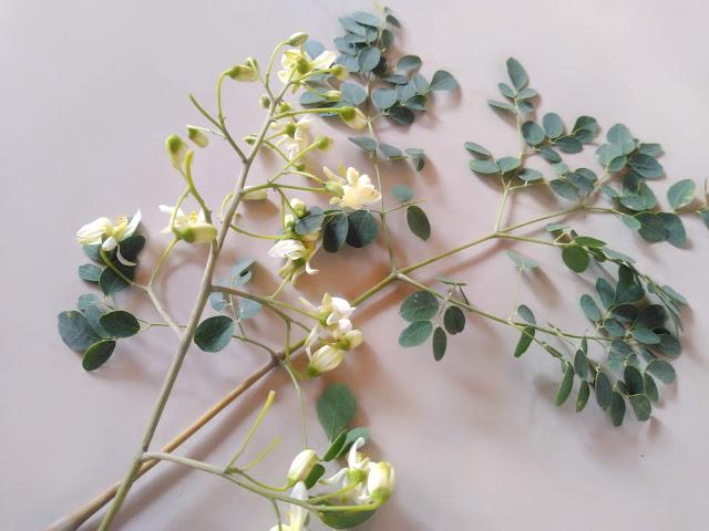 Moringa Leaves, buds with benefits