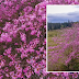 Enjoy these pink tree viewing experience in Bukidnon