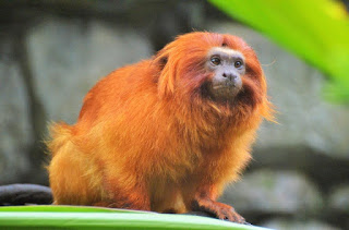 Golden Lion Tamarin Monkey Facts