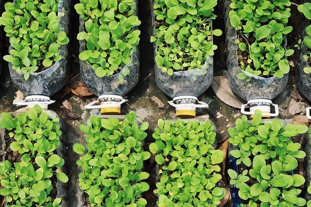 verdura_plantada_em_garrafa_PET