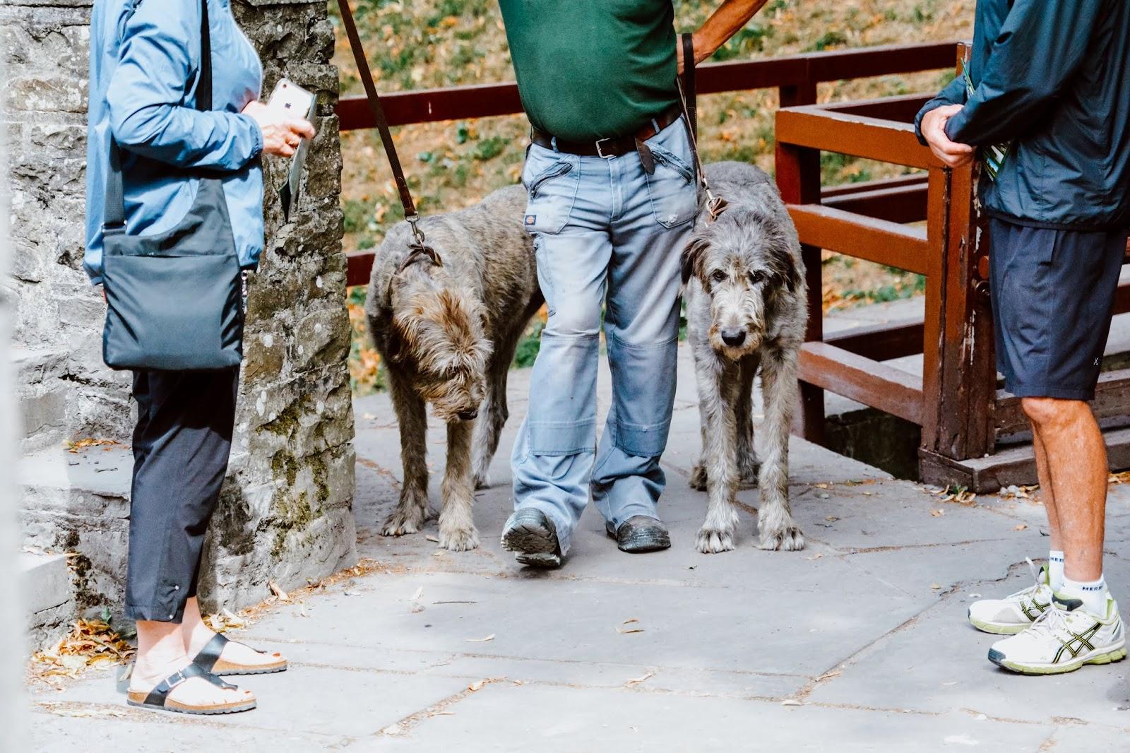 Bunratty Castle Irish Wolfhounds