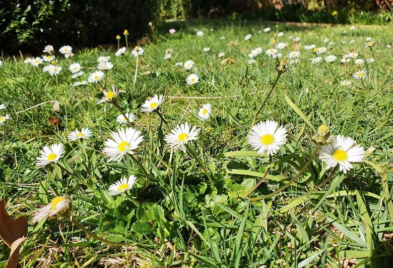 wildflowers on the lawn