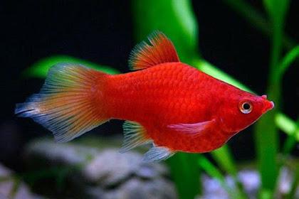Daftar Harga Ikan Platy Paling Lengkap 2019