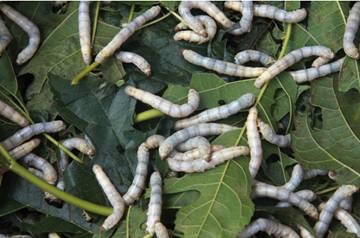 Μεταξοσκώληκας ονομάζεται γενικά η κάμπια του εξημερωμένου είδους Bombyx mori της ομοταξίας των εντόμων.