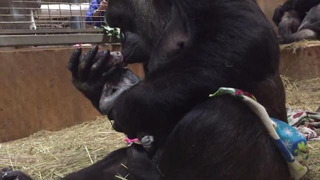 ВИДЕО: Горилла целует своего новорожденного малыша через несколько секунд после родов