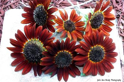 Final Chianti Hybrid Sunflower Blossoms