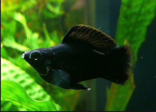 Gambar Ikan Black Molly