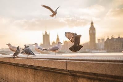 صور طيور، حمام فى انجلترا