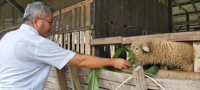 Anggota DPRD Sumut: Domba Marino Bisa Jadi Alternatif Ternak Pengganti Babi