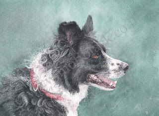 Watercolour painting of a border collie dog.