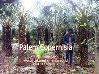 Jual Palem Copernis | Palem Copernisia | Jenis Palem kopernis
