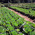 Estudantes da Ilha Comprida contam com verduras e legumes sem agrotóxicos produzidas na horta municipal