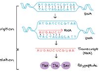 Sintesis Protein : Pengertian, Tahapan dan Prosesnya