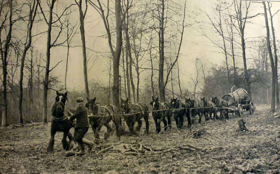 A team of eight horses hauling a beech tree butt in Hertfordshire woodland 24 Feb 1936 Image from the Peter Miller Collection