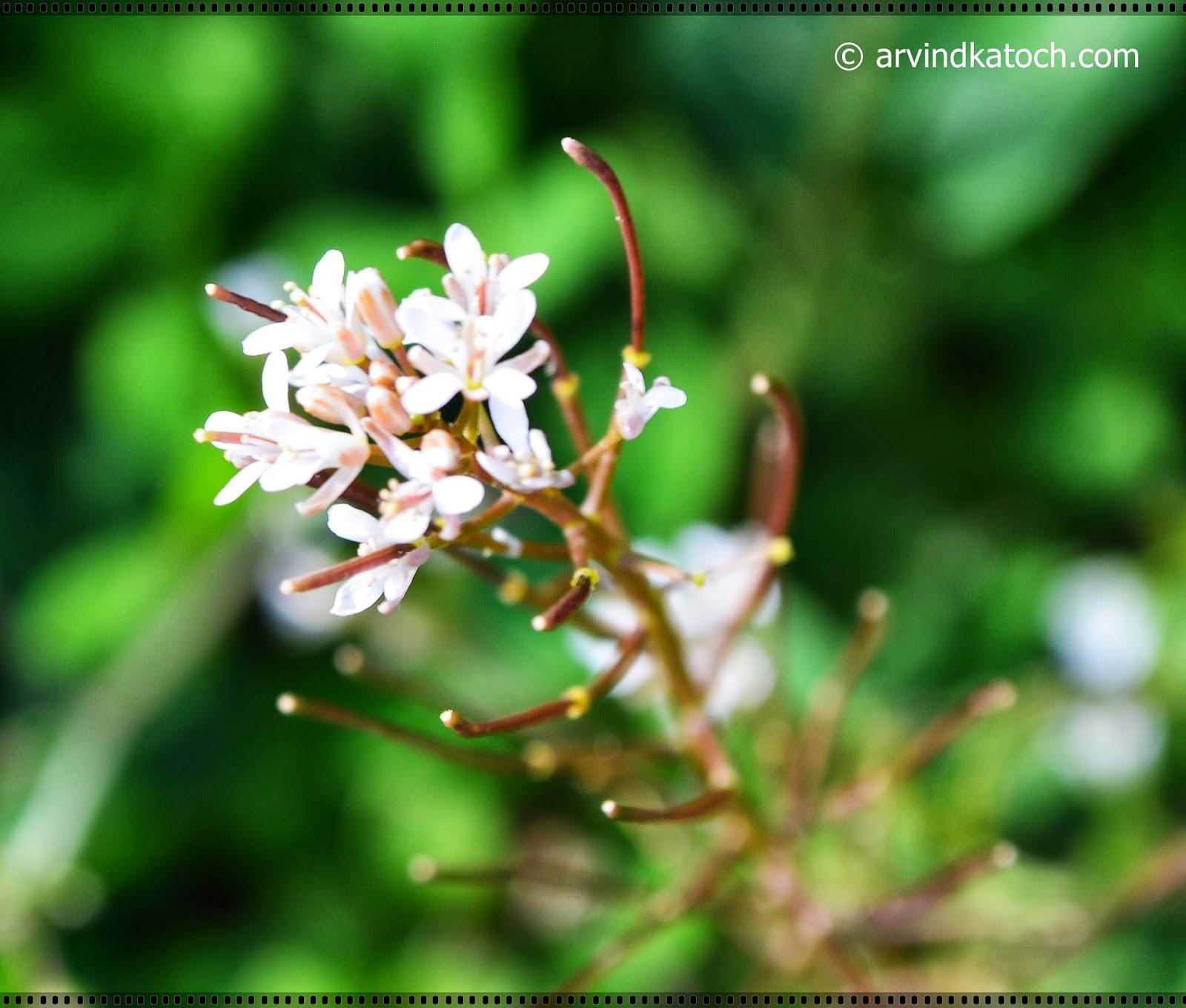 white flowers, micro flowers, tiny flowers,