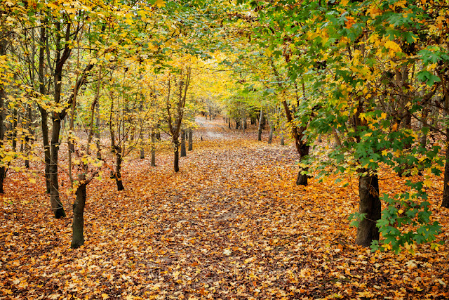 Path through the trees in autumn at Hinchingbrooke Country Park