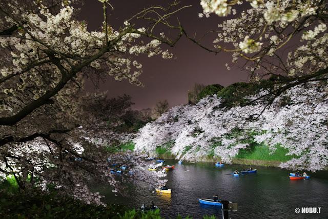 2017年・千鳥ヶ淵の夜桜ライトアップ