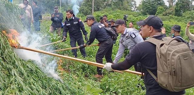 Polri Musnahkan Ladang Ganja 10 Hektare Di Aceh Besar