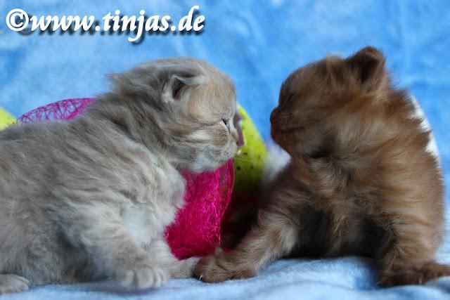 Scottish Fold langhaar Katzenbabys drei Wochen alt