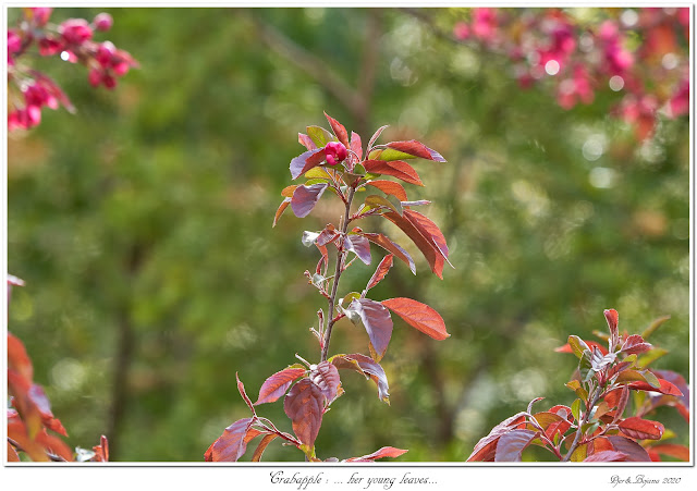 Crabapple: ... her young leaves...