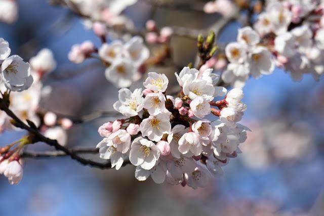Bunga sakura keren