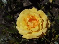 Amber Flush rose - Wellington Botanic Garden, New Zealand
