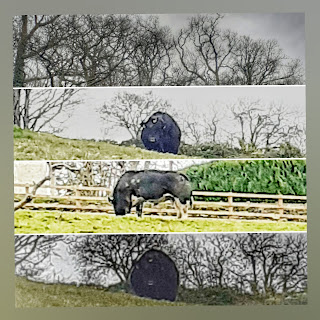 Four pictures in a collage, top one is of bare tree tops, two are of a black and white bull looking up, one a side view of him eating, sky is wintry