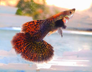 Gambar Guppy Red Dragon