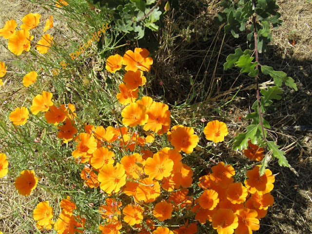 """Larry"" Moore Park in Paso Robles: A Photographic Review - California Poppies Snuggling with Baby Oak"