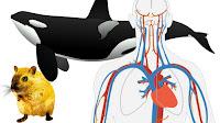 heart rate human whel rat