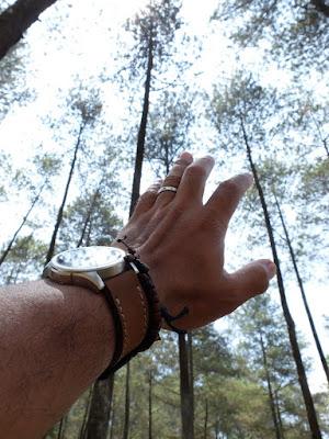 Pohon pinus di Cikole, Lembang