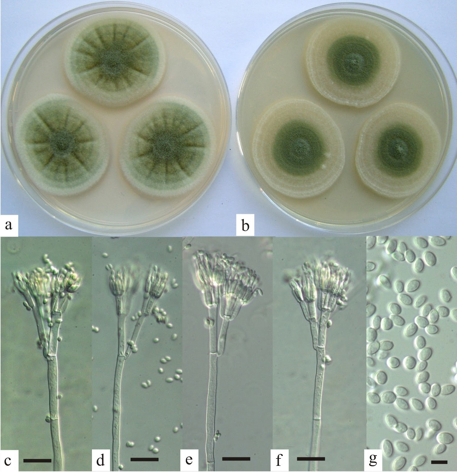 Sciency Thoughts Penicillium Excelsum A New Species Of