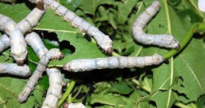 İpek Böceği Yetiştiriciliği Yapmak