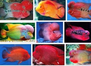Jenis-Jenis Ikan Louhan (Flowerhorn)