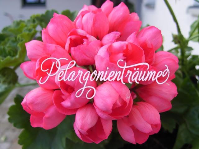 Tulpenblütengeranie-Tulpenblütenpelargonie