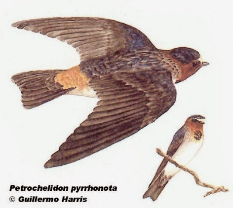 Golondrina rabadilla canela, Petrochelidon pyrrhonota