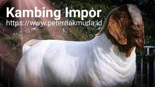 Impor Goat Pic