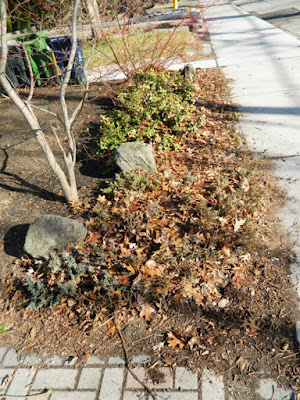 Runnymede Front Yard Spring Cleanup Before by Paul Jung Gardening Services--a Toronto Gardening Company