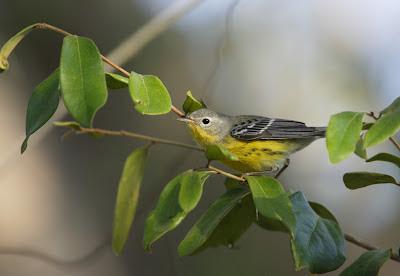 Magnolia warbler, Mexico -Simon Colenutt The Deskbound Birder
