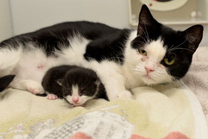 black and white cat with tiny black and white kitten
