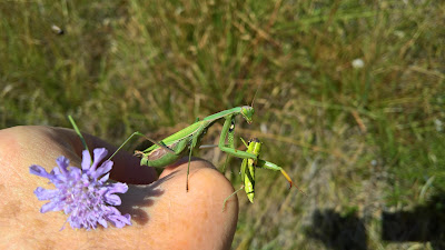 A praying mantis eating lunch. Uh, oh, looks like it was another mantis.