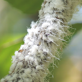 A dense pile of Wooly Beech Aphids on a branch.