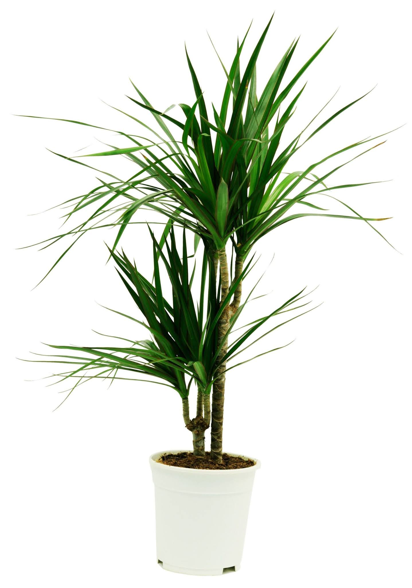 """أكثر النباتات لطافة وطريقة الاعتناء بها """"نبتة دراسينا هامشية"""""""